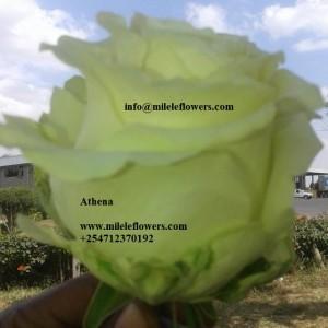 Athena (2)