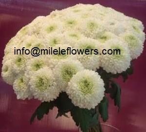 Chrysthemums (2)